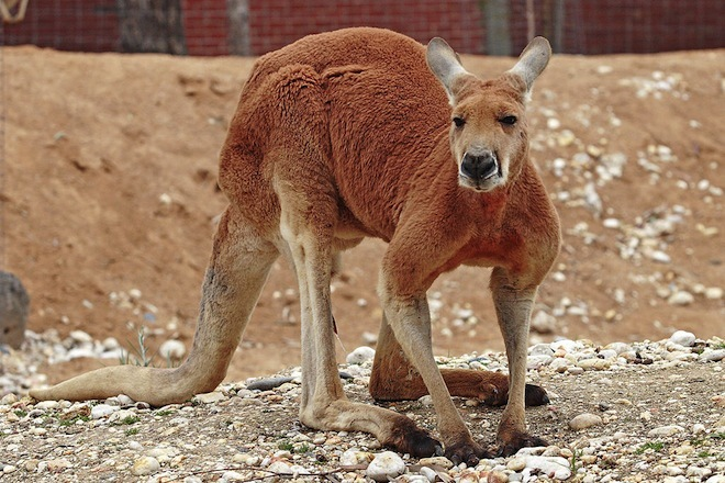 1024px-Red_kangaroo_-_melbourne_zoo